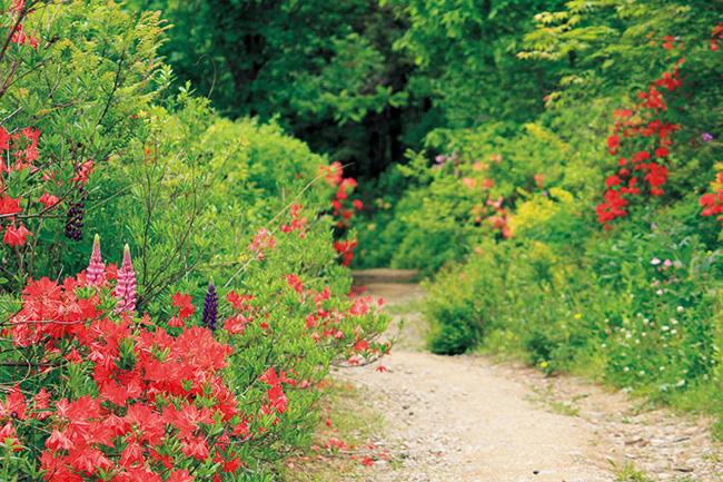 6月、レンゲツツジの咲く小道。 この道も武市さんがつくったもの。