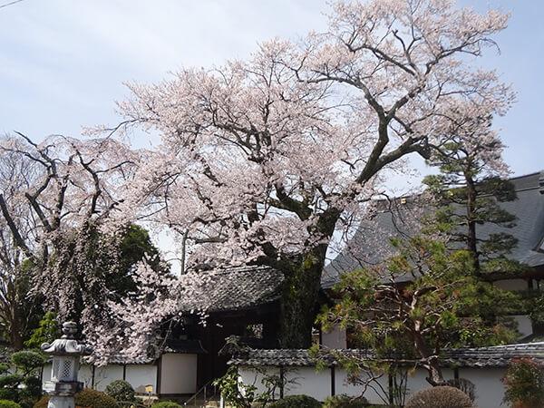 桜がいっぱいの経蔵寺