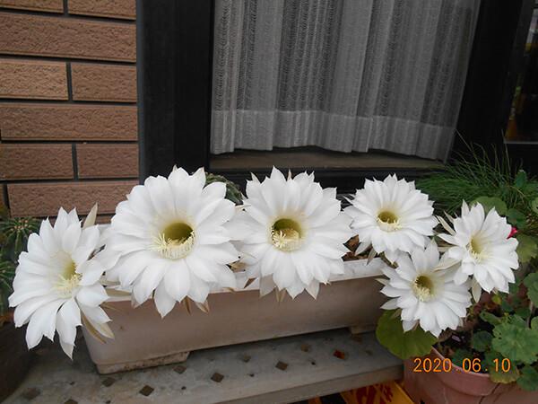 サボテンの白い花