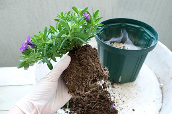植物をポットから取り出す