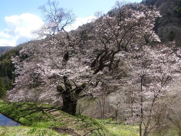 園原・駒つなぎの桜
