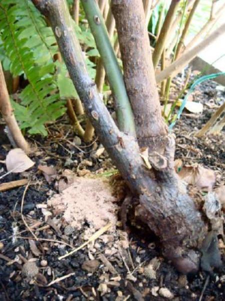カミキリムシの幼虫が茎に入ったサイン