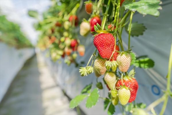全国のイチゴの生産量TOP10