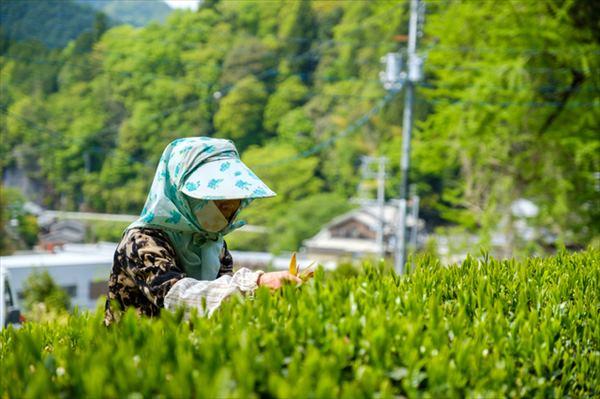 コロナ禍でお茶の売上も減少……お茶を飲んで応援しよう