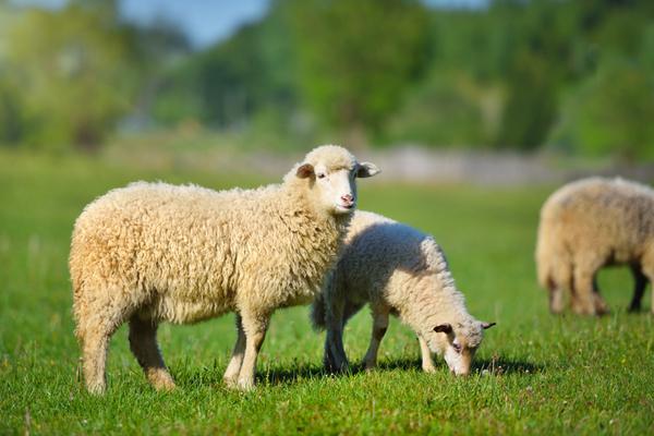 羊プラセンタは、ヨーロッパでは主流