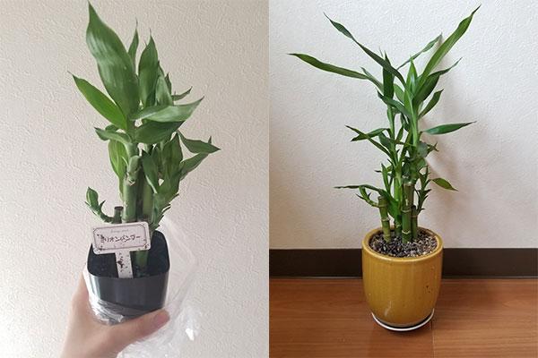 ダイソーの観葉植物は実際どう?編集部で2か月育ててみた
