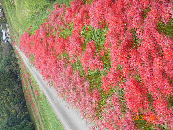 芦野の田んぼ道に咲く彼岸花