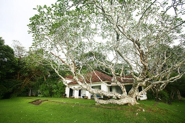 「ルヌガンガ」の母屋、大きなプルメリアの木が枝を広げている