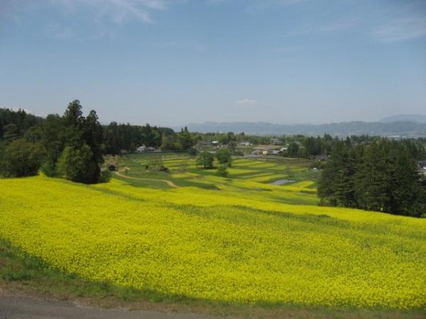 菜の花の段々畑