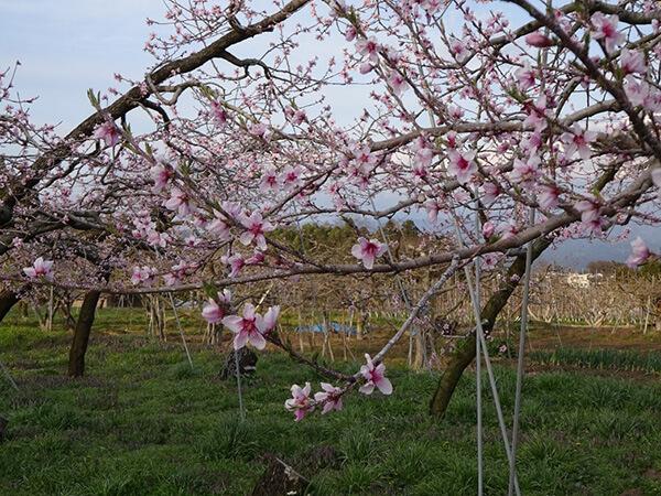かわいらしい桃の花