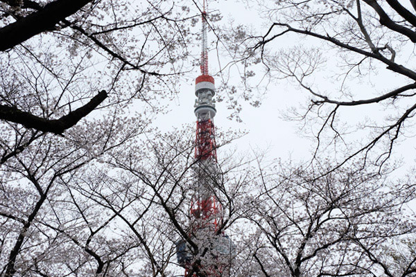 増上寺の桜